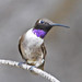 Black-chinned Hummingbird - Photo (c) Jerry Oldenettel, some rights reserved (CC BY-NC-SA)