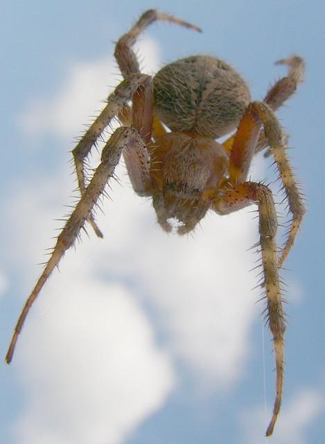 Barn Spider-sky | Araneidae (Orb weaver) probably of the ...