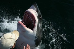 animal, fish, great white shark, shark, marine biology,