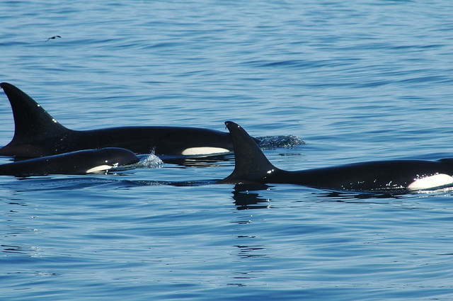 Killer Whales, Galápagos Islands