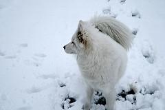 arctic fox, animal, canis lupus tundrarum, dog, winter, snow, mammal, greenland dog, freezing, samoyed,