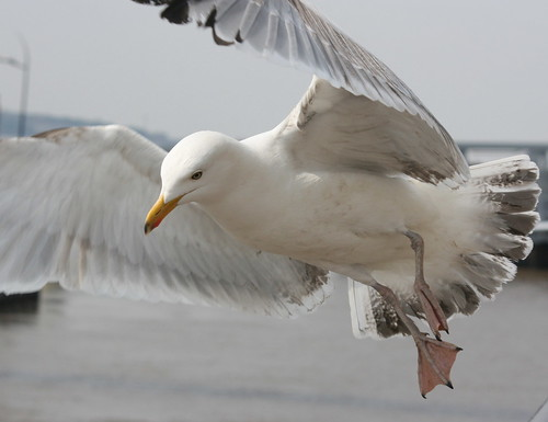 A Herring ( Gull, I Am)