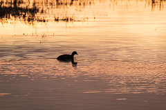Coot swimming in a golden pool of water, as the sun dropped low and beautifully lit the water. #Birds #Birdsofinstagram #ornithology #birder #birdlovers #feathers #Nature #Natureperfection #naturelovers #nature_brilliance #naturelove #Outdoors #outdoorblo