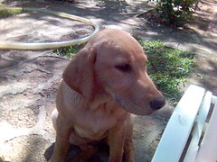 weimaraner(0.0), labrador retriever(1.0), animal(1.0), dog(1.0), mammal(1.0), vizsla(1.0),