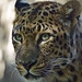 Amur Leopard by beachwalker2008
