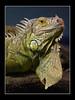 Iguana (Leguan) by guenterleitenbauer
