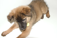 dog breed, animal, puppy, dog, leonberger, pet, greenland dog, finnish spitz, tervuren, carnivoran,