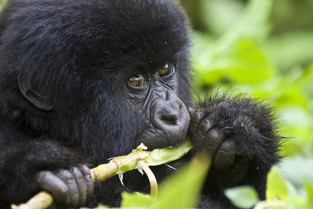 Mountain gorillas live in Virunga National Park in the Virunga mountains of Congo and Rwanda.