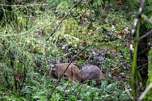 two deer in our backyard    MG 8848