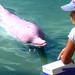 Rare Pink dolphin (Singapore)
