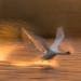 Swan Motion by wentloog