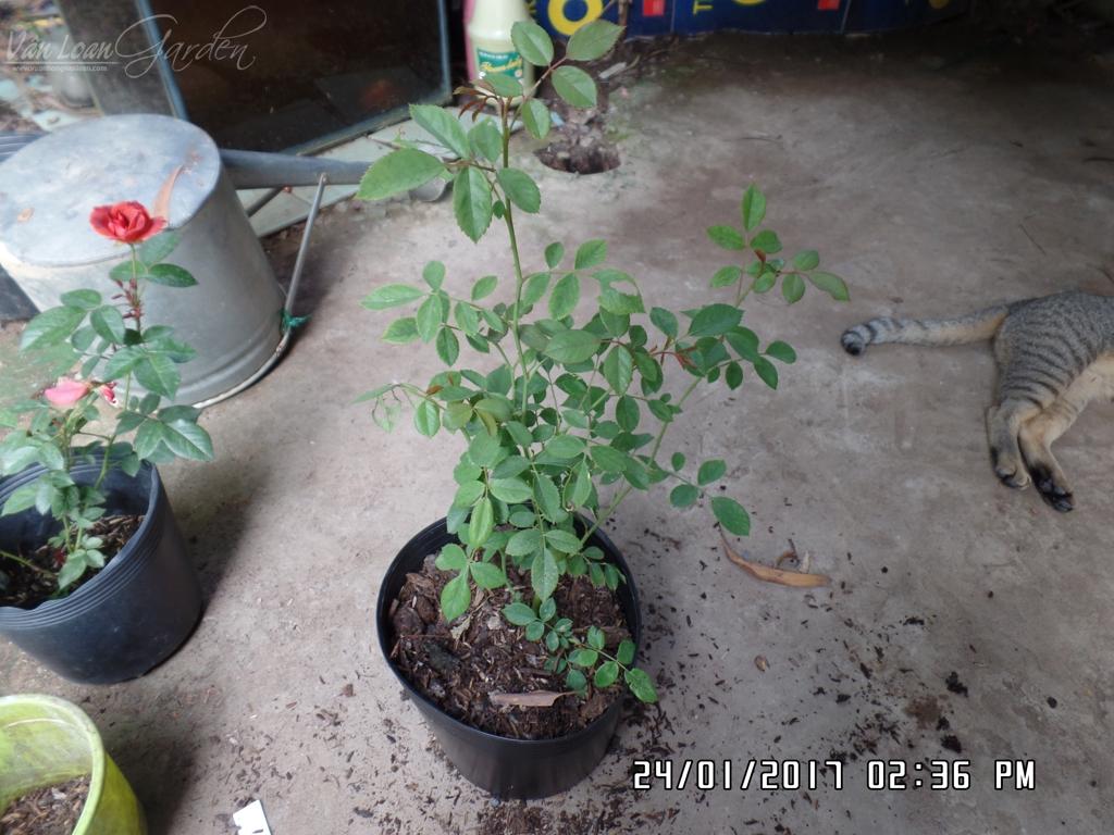 Không nên để giá thể trồng hoa hồng đầy miệng chậu. Để giá thể cách miệng chậu 2-4cm là vừa, để khi tưới nước giá thể không bị rửa trôi