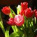 tulip season by rosipaw