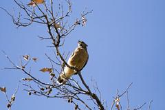 Sycamore Grove Hawk