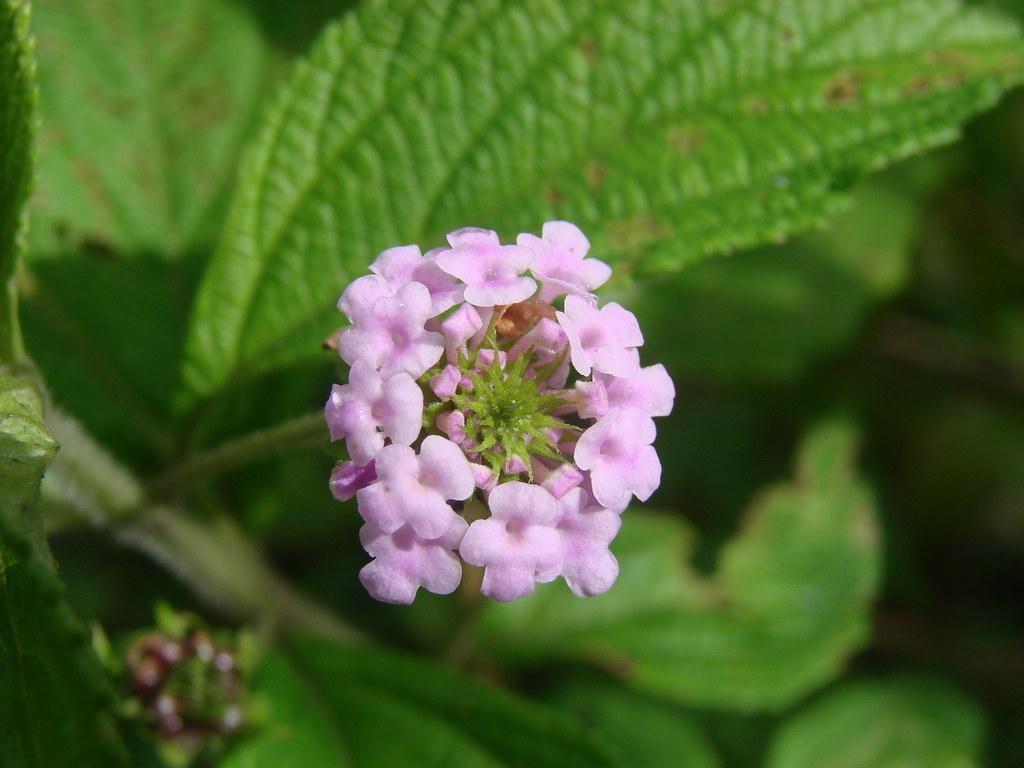 Cariaquito morado [Purple cariaquito] (Lantana trifolia)