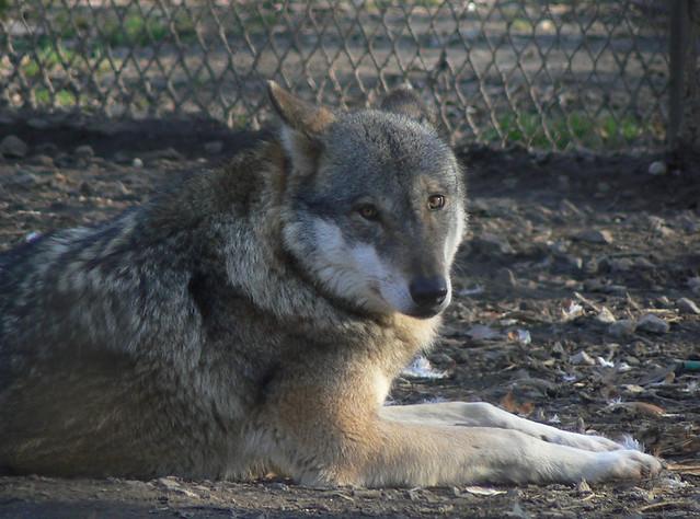 Wolf Lying Down  Wolf Lying Down...