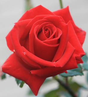 Ravishing Red Rose!!!
