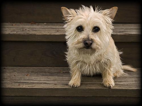 Madeline- blonde cairn terrier