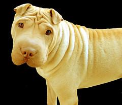 dog breed, animal, dog, shar pei, carnivoran,