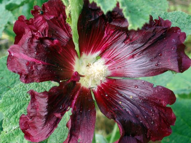 Malva real malvarrosa altea althaea rosea 6 flickr for Malvarrosa planta
