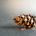 Day 70 - Douglas Fir cone