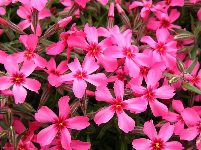 Red Wing Creeping Phlox | Flickr - Photo Sharing!