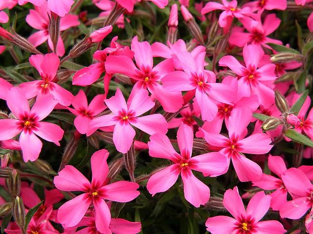 Red Wing Creeping Phlox   Flickr - Photo Sharing!