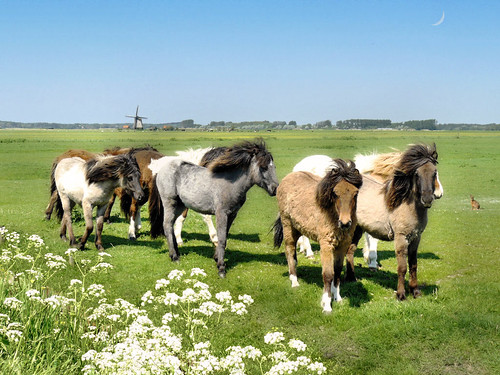 Icelandic horses in North Holland