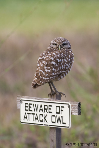 Burrowing Owls 05-09 011