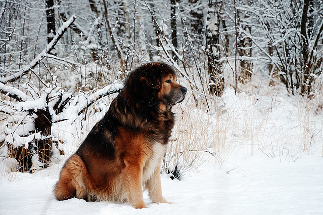 Most Expensive Dog Breed A Gallery On Flickr