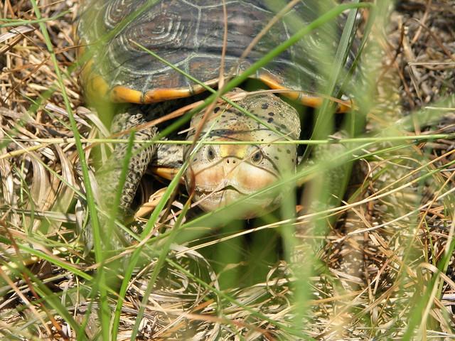 Diamondback terrapin turtle The Grand Bay National Estuari ...