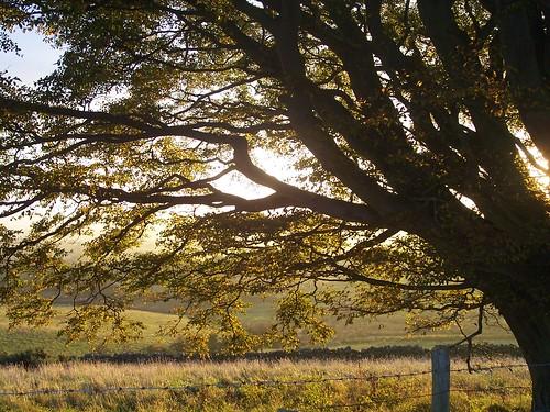 Autumn Sun behind a Dufton Tree