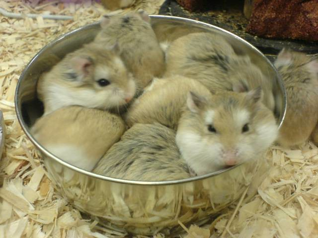 Hamsters at Petsmart | Flickr - Photo Sharing!