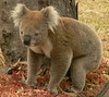 My Favourite Koala! by ianmichaelthomas