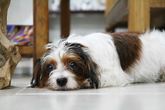 king charles spaniel(0.0), cavapoo(0.0), cavalier king charles spaniel(0.0), dog breed(1.0), animal(1.0), puppy(1.0), dog(1.0), cavachon(1.0), petit basset griffon vendã©en(1.0), pet(1.0), mammal(1.0), biewer terrier(1.0), havanese(1.0), lhasa apso(1.0),