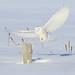 L'atterrissage silencieux du prédateur! Harfangs des neiges-Snowy Owl by Maxime Legare-Vezina
