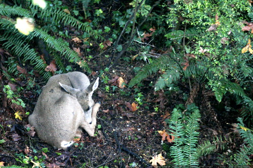 deer sleeping in the backyard ferns    MG 4909