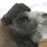 Wooly Bactrian Camel - Murghab, Tajikistan