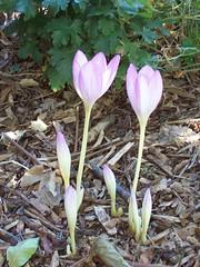 crocus, flower, plant, flora, cyclamen, petal,