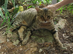 animal, tabby cat, toyger, small to medium-sized cats, pet, mammal, fauna, cat, wild cat, wildlife,