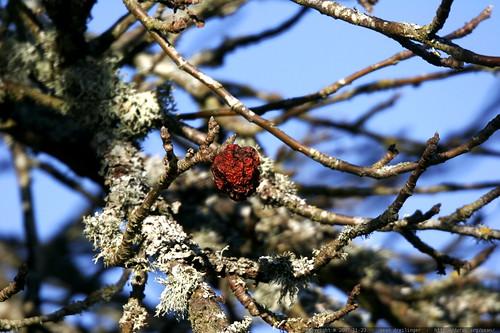 apple, dried onto the tree    MG 6568