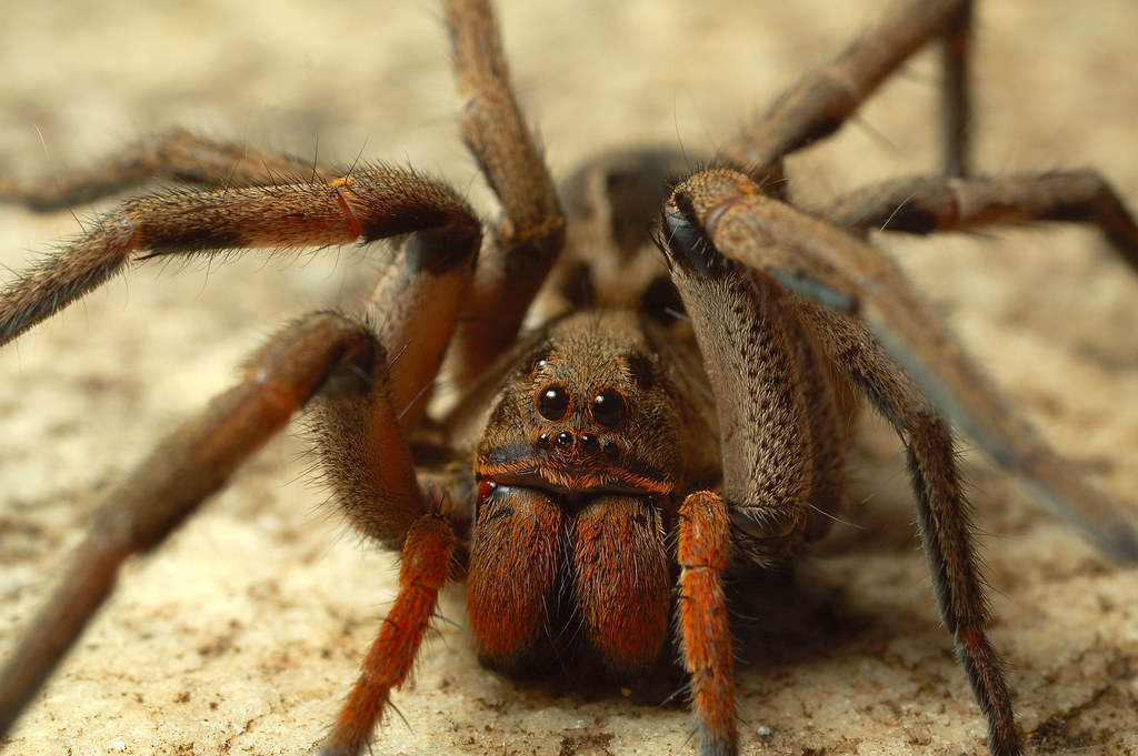 пауки фото с названиями википедия