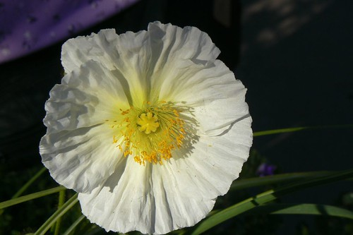 [white poppy photo]