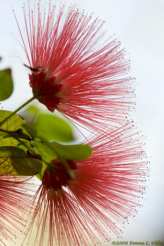 Revisiting the Calliandra