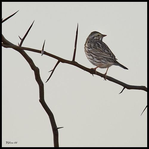 sparrow thorns horseshoelakestatepark madisoncounty illinois d800 600mmnikkor