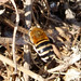 Small photo of White-banded Digger Bee. Amegilla quadrifasciata
