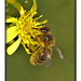 Honey Bee - Photo (c) Ferran Pestaña, some rights reserved (CC BY-NC)