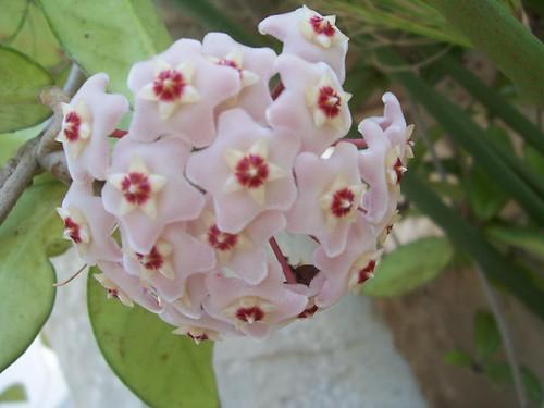 Hoja pianta di cera o fiori di cera for Pianta fiori di cera