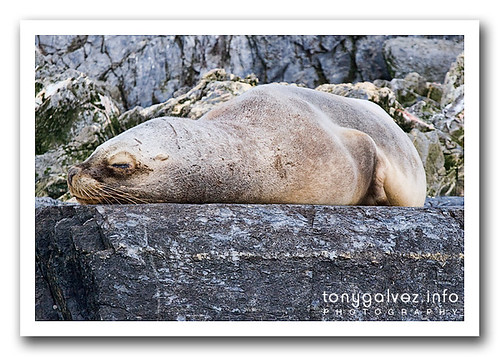 lobo marino sudamericano / South American sea lion