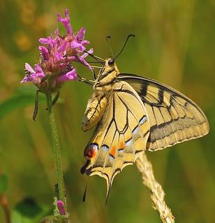 Machaon Papilio machaon